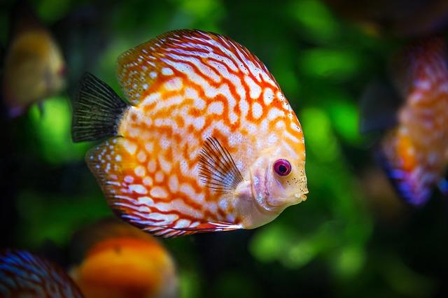 bílooranžová rybička
